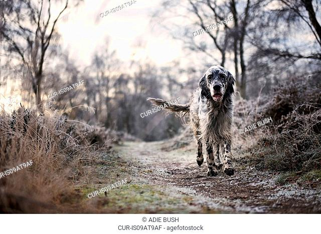 Front view of dog walking on frosty path looking at camera