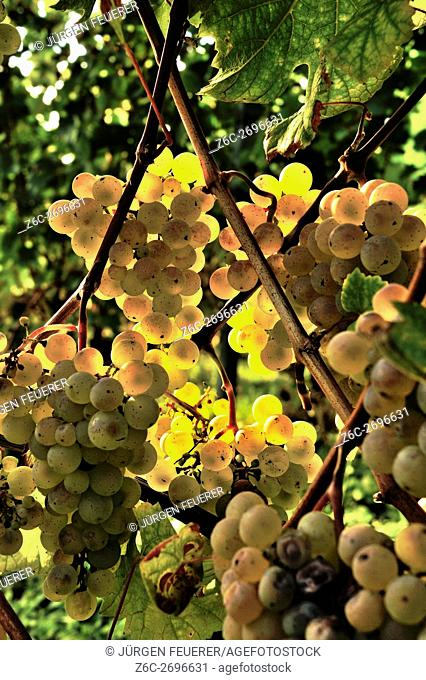 Ripe grapes of white wine in golden shiny sun light at the vine, wine in the region of Baden, Germany