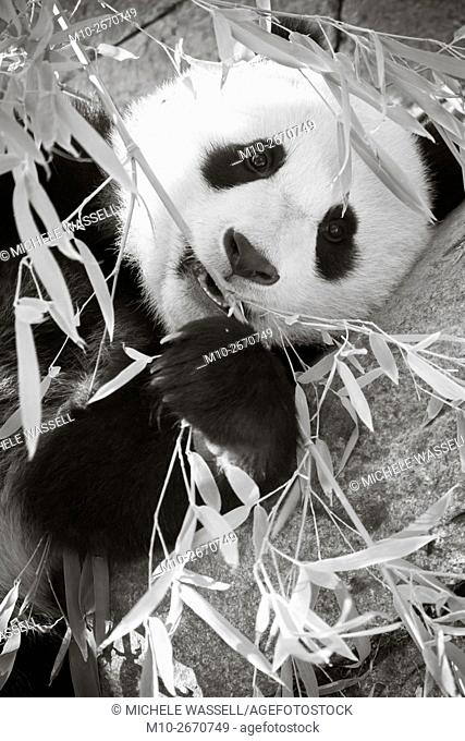 A Giant Panda on its back while eating bamboo in North America, USA