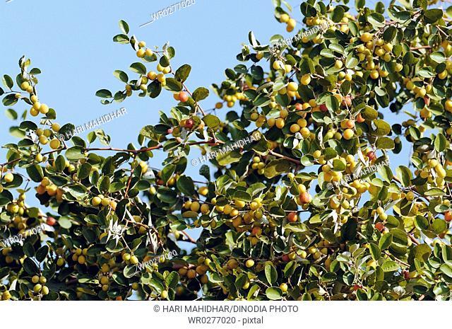 Guava tree , India