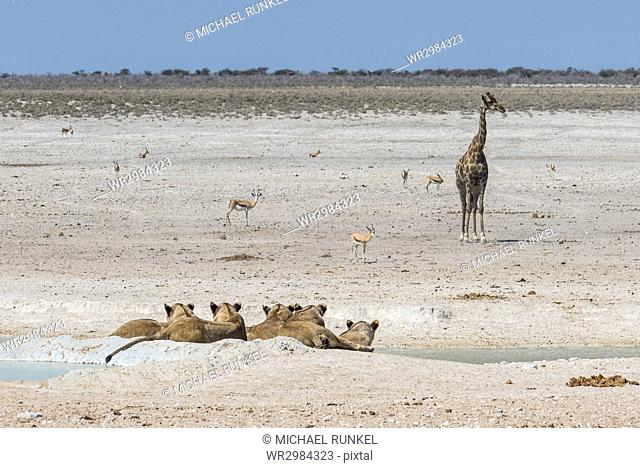 Lions (Panthera leo) at a waterhole in the Etosha National Park, Namibia, Africa