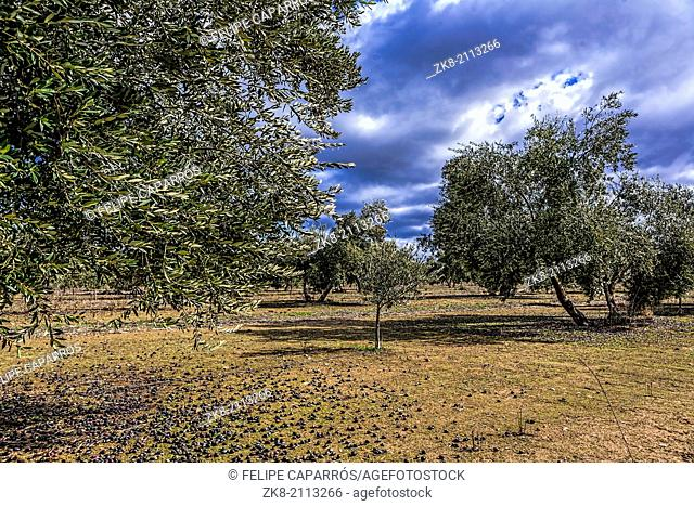 Ecological cultivation of olive trees in the province of Jaen, Spain