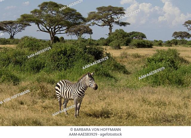 Burchell's Zebra standing in plains, Amboseli National Park, Kenya