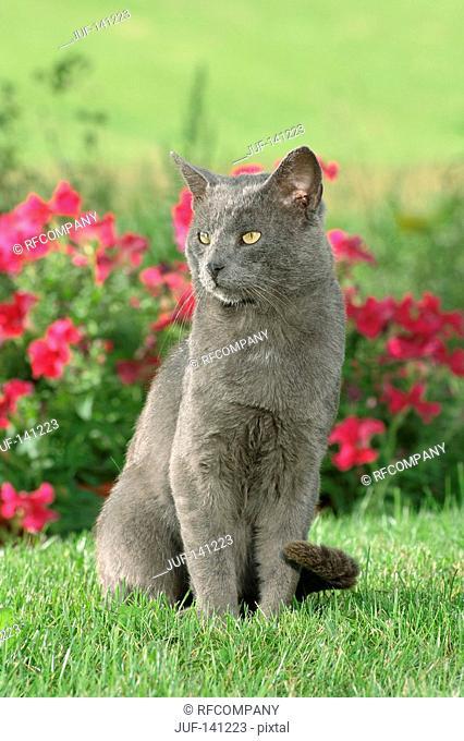 Carthusian cat - sitting on meadow