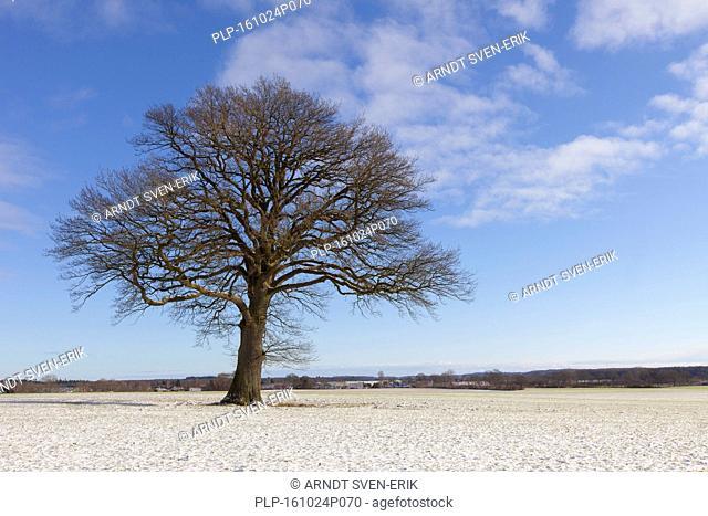 Solitary English oak / pedunculate oak / French oak tree (Quercus robur) in meadow in winter