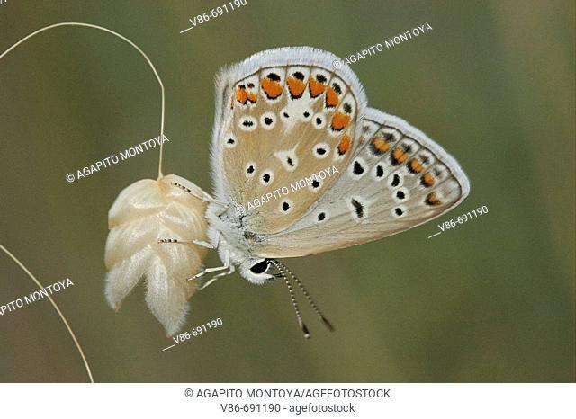 Polyommatus Ícarus