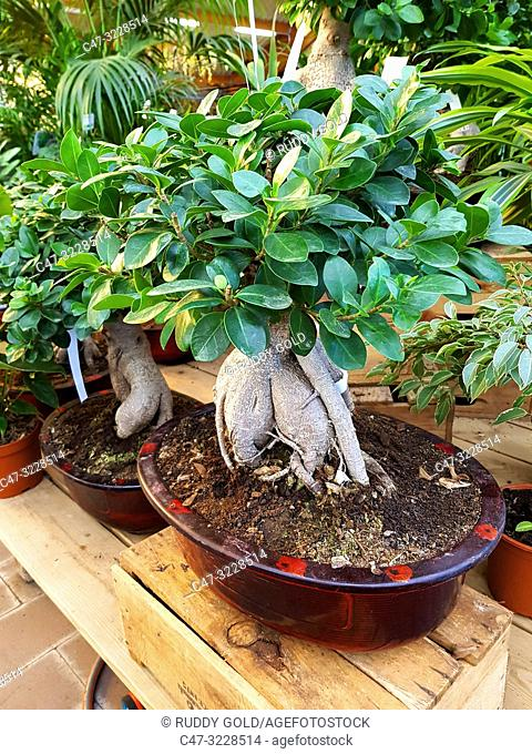 Ficus Ginseng Bonsai Tree (Ficus retusa) in a Garden Center. Ginseng ficus bonsai trees are very hardy and easy to take care of