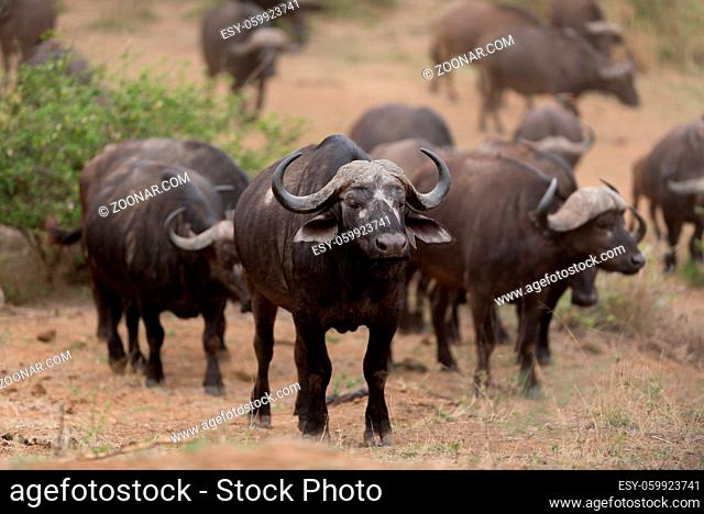 Herd of Cape buffalo also known as African buffalo in the wilderness