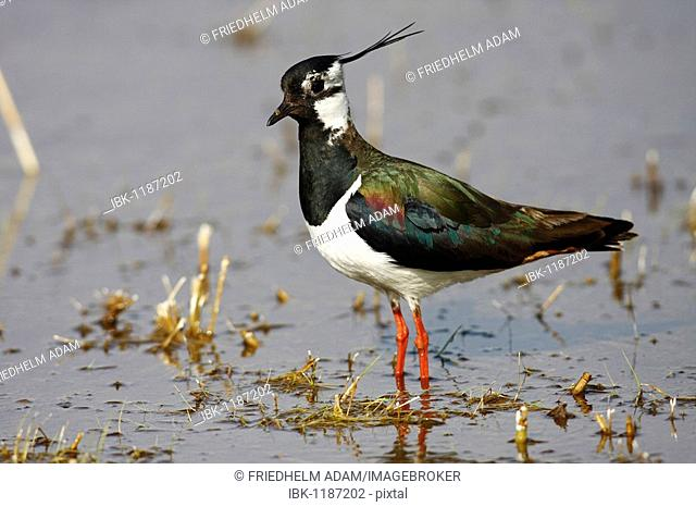 Northern Lapwing, Peewit or Green Plover (Vanellus vanellus) standing in shallow water, Burgenland, Austria, Europe