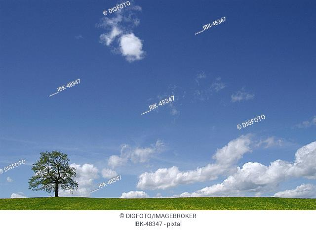 Solitary tree on field in front of blue sky, Upper Bavaria, Bavaria, Germany