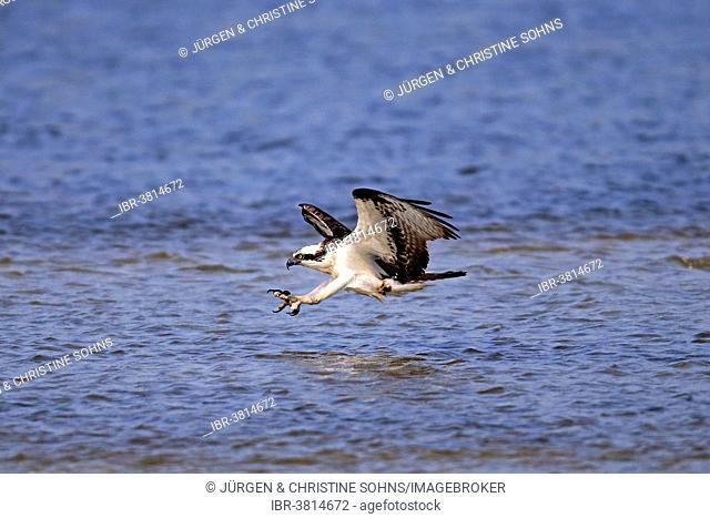 Osprey (Pandion haliaetus carolinensis), flying, hunting, Sanibel Island, Florida, USA