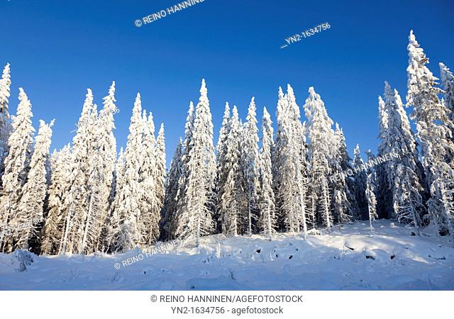 Snowy spruce, picea abies, trees at Winter  Location Suonenjoki Finland Scandinavia Europe EU