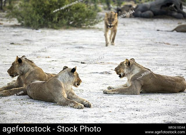 A pride of female lions resting