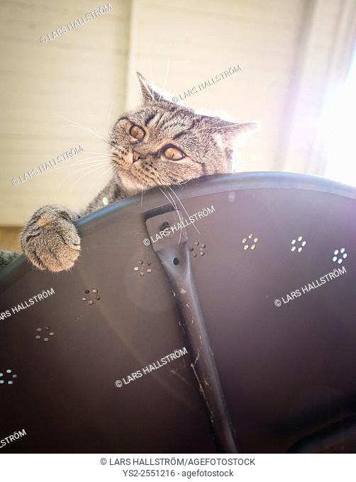 British shorthair cat lying on table looking away with curiosity. Playful pet on adventure
