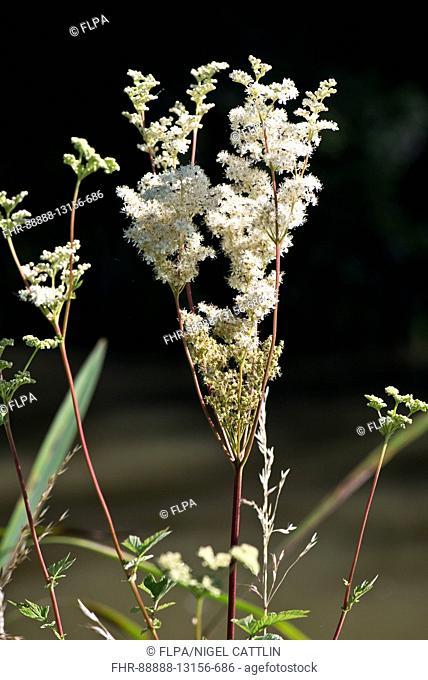White flowers of meadowsweet, Filipendula ulmaria, beside the Kennet & Avon Canal, July