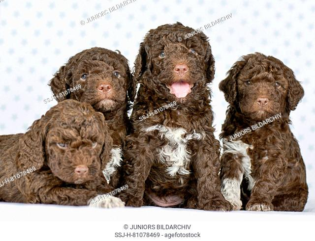 Lagotto Romagnolo. Four puppies (5 weeks old) sitting and lying next to each other. Studio picture. Germany