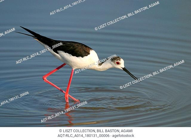 Black-winged Stilt feeding, Black-winged Stilt, Himantopus himantopus