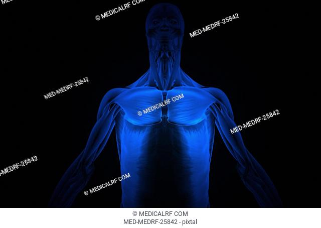 The muscles of the upper body