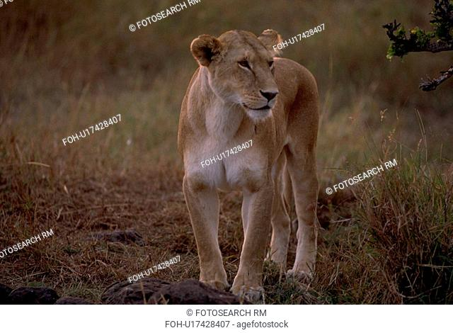 prey, lion, looking, morning, early, female