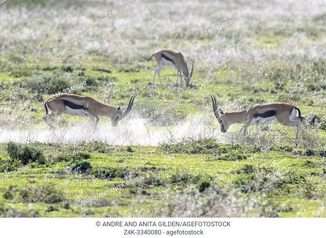 Two Thomson's Gazelle (Eudorcas thomsonii) rams fighting for dominance on savanna, Ngorongoro crater national park, Tanzania