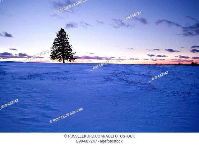 Lone Fir Tree Silhouette
