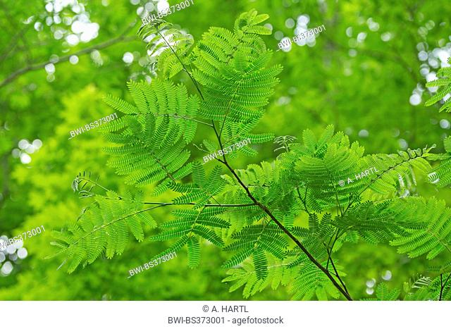 Silk Tree, Pink Siris (Albizia julibrissin), leaves, USA, Tennessee, Great Smoky Mountains National Park