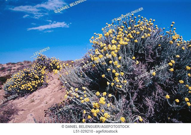 Everlasting (Helichrysum stoechas). La Devesa-Albufera Natural Park. Comunidad Valenciana. Spain
