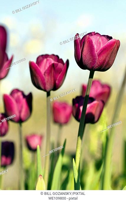 Tulips - North Carolina Arboretum - Asheville, North Carolina USA