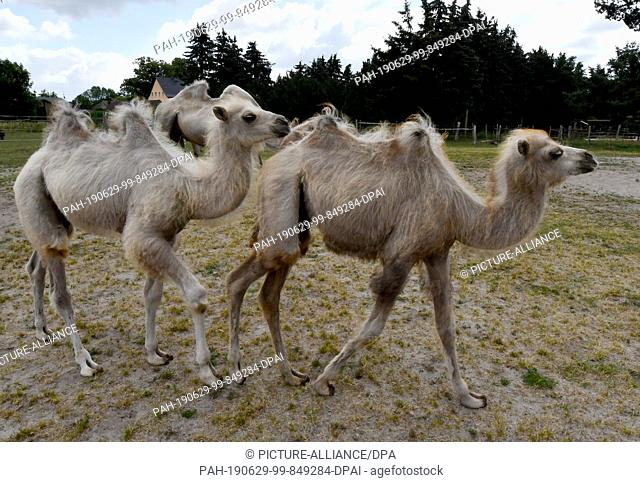 28 June 2019, Brandenburg, Nassenheide: The baby camels Fritz and Luise (r) run across the pasture of the camel yard. Camels also suffer enormously from the...