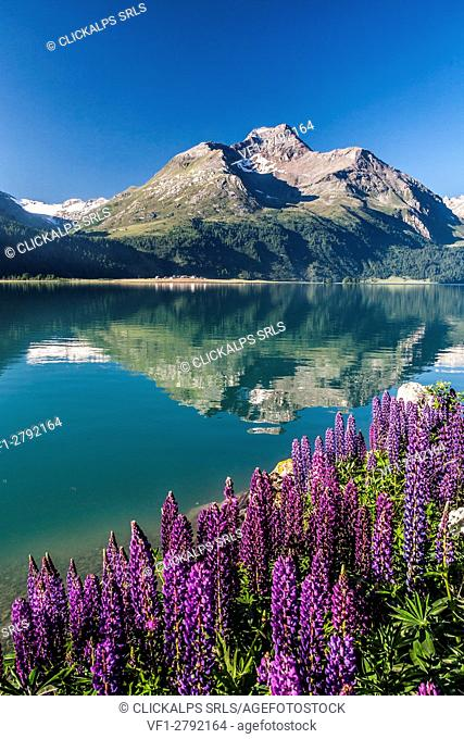 Blooming lupin on the shores of the lake of Sils with Piz la Margna reflected