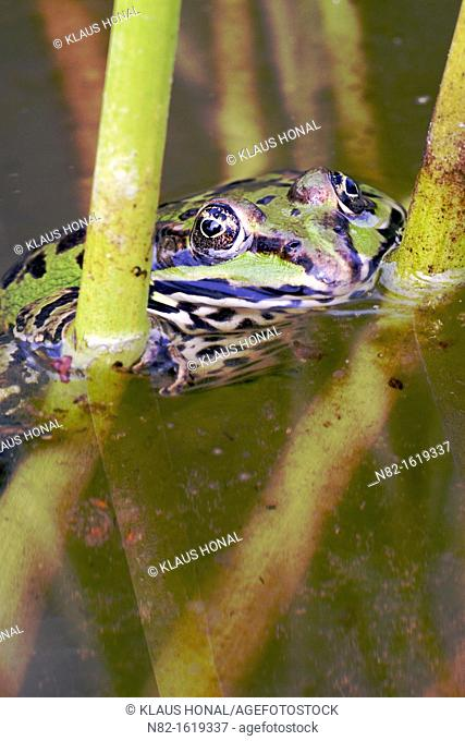Edible Frog Rana esculenta between water plants - Bavaria/Germany