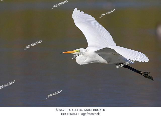 Great Egret (Ardea alba), flying over the water, Tuscany, Italy
