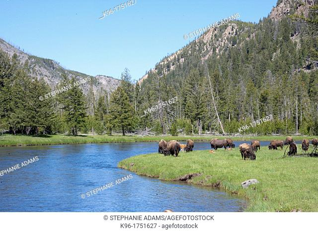a heard of bison grazing in Yellowstone National park