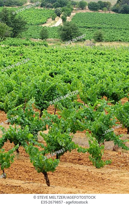 Early summer vineyard in the South of France