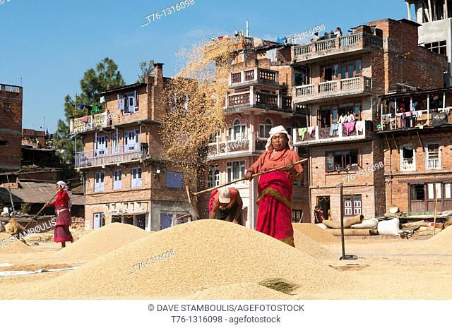 threshing rice during the autumn harvest in the old city of Bhaktapur near Kathmandu, Nepal