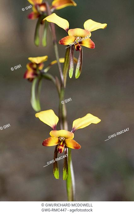 NATIVE WESTERN AUSTRALIAN DONKEY OR PANSY ORCHID (DIURIS GENRE)