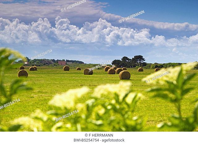 hayboles in a meadow with white flowers in the foreground, Germany, Mecklenburg-Western Pomerania, Hiddensee