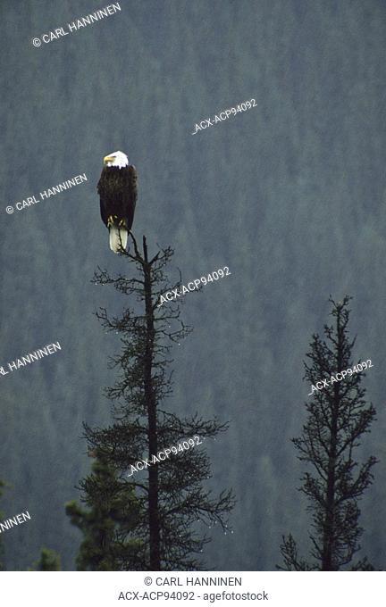 Bald eagle (Haliaeetus leucocephalus) in tree during rain storm, Yukon, Canada
