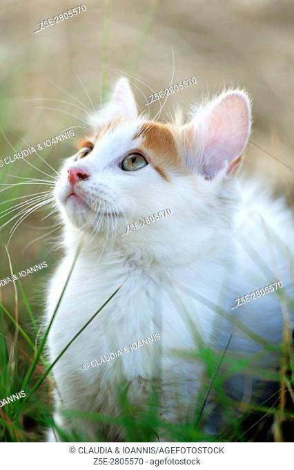 White and red kitten sitting outdoors