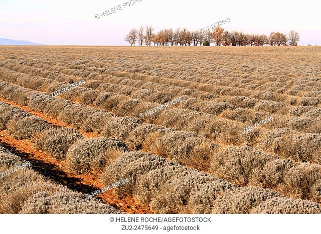 Lavender fields in winter in Provence, Valensole, France