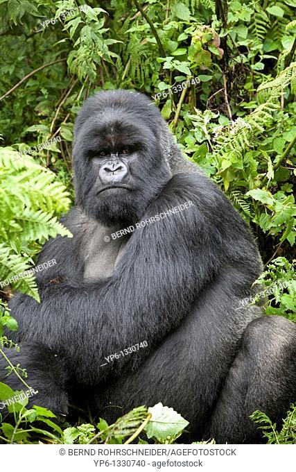 Mountain Gorilla, Gorilla beringei beringei, silverback sitting in vegetation, Volcanoes National Park, Rwanda