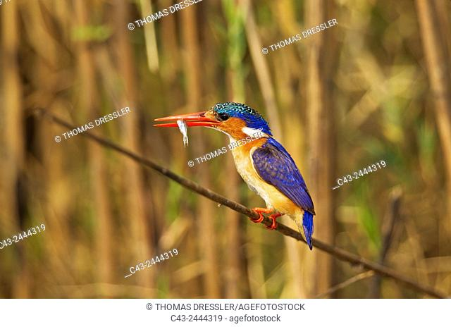Malachite Kingfisher (Alcedo cristata) - With prey at the bank of the Chobe River. Photographed from a boat. Chobe National Park, Botswana