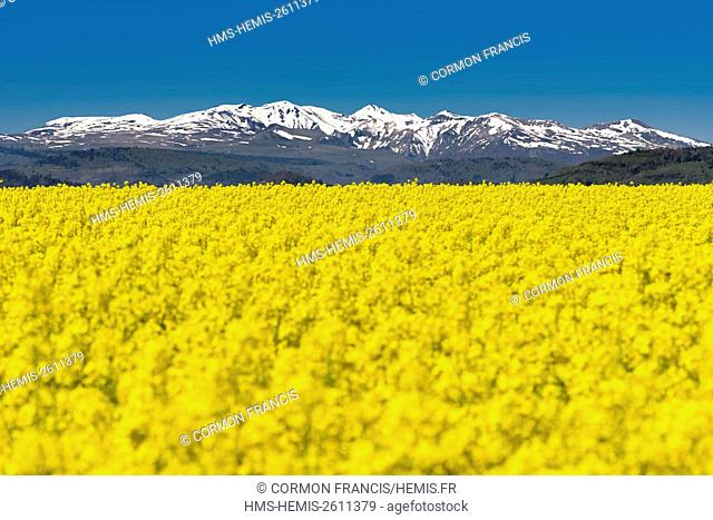 France, Puy de Dome, Champeix, rapeseed field, Sancy massif in the background