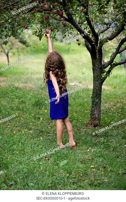 Italy, Girl (10-12) picking apples