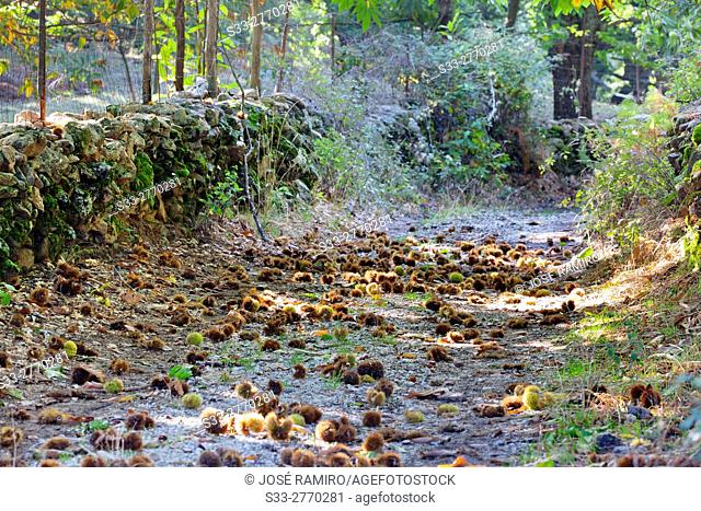 Path between chestnuts in El Real de San Vicente. Toledo. Castilla la Mancha. Spain. Europe