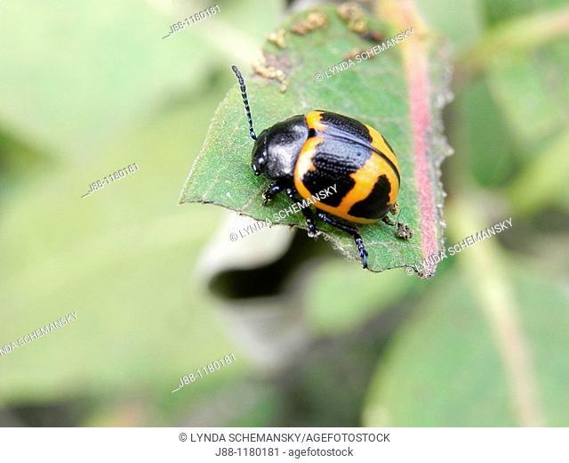 Swamp milkweed beetle, milkweed leaf beetle, Labidomera clivicollis defecating on milkweed leaf