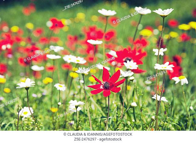 Wild anemones and chamomile in field of wildflowers on Pelion Peninsula, Greece