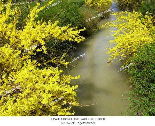 Forsythia in bloom and stream, English Garden, Munich, Germany