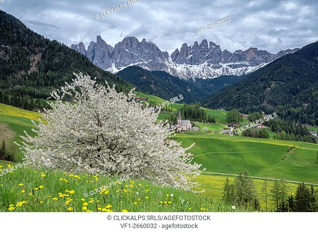 Funes Valley, Dolomites, South Tyrol, Italy. Spring in Santa Maddalena in Funes Valley and the peaks of Odle in the background