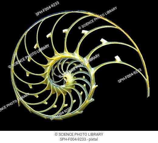 Nautilus shell. Close-up of a sectioned shell of a nautilus Nautilus pompilius, showing the spiral structure and chambers of mother-of-pearl nacreous